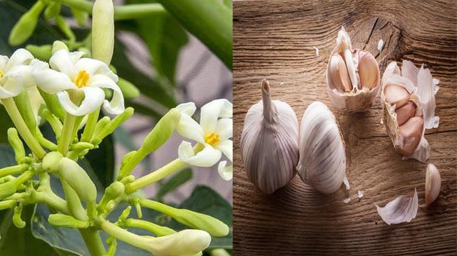 Tăng đề kháng, giảm ho với keo ho từ hoa đu đủ đực và cao tỏi
